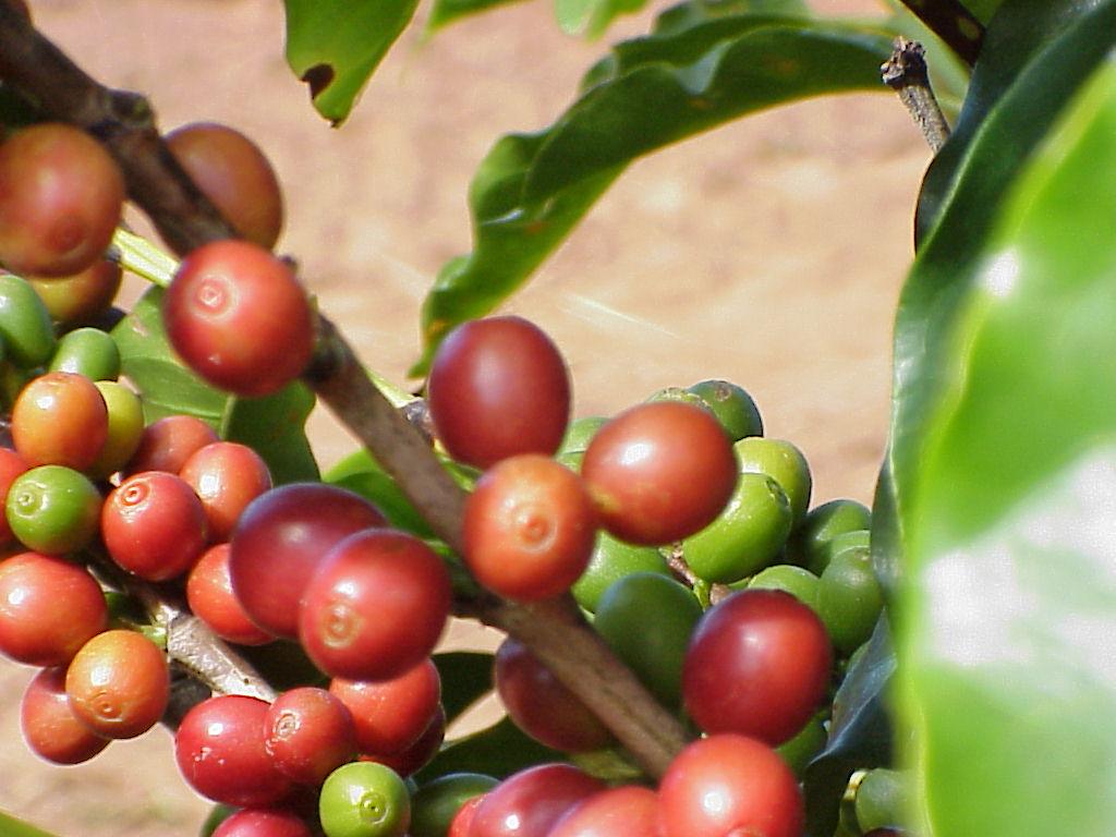 safra-mineira-de-cafe-deve-alcancar-233-milhoes-de-sacas-no-ano-de-2015