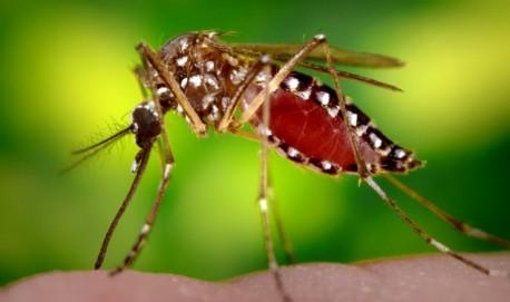Mosquito Aedes aegypti, transmissor da dengue (Foto: Reprodução)