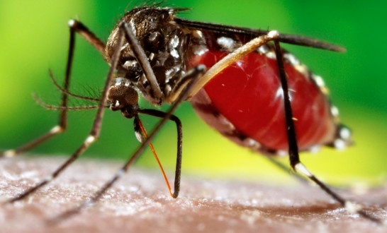 dengue41